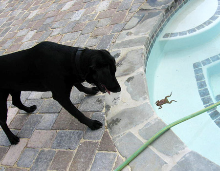 Mr. Meatballs attempts to capture the elusive pool frog.